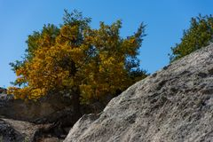 Autumn realesing its golden colors in Phrygian valley. Beautiful tree stuck among the rocks defying and still growing up Stock Photos