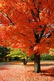 Autumn Red Royalty Free Stock Photography