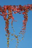Autumn Red. A creeper hangs in the still autumn/fall air Royalty Free Stock Image