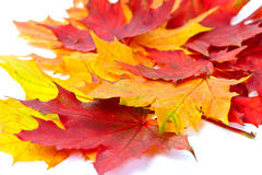 Autumn red ad yellow leaves Royalty Free Stock Images