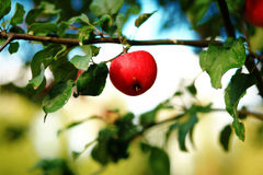 Autumn red apple fruiter Royalty Free Stock Image