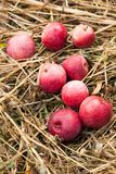 Autumn red apple fruits harvest in orchard.  stock photography