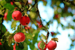 Autumn red apple Stock Photography