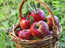 Autumn red apples basket Royalty Free Stock Image