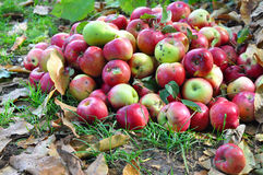 Autumn Red Apples Garden Harvest com Autumn Leaves Background Fotos de Stock