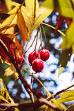 Autumn red berries. autumn time royalty free stock image