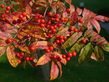 Autumn red berries and leaves on a rowan tree Royalty Free Stock Photography