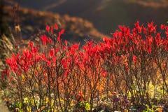 Autumn Red Blueberry Bushes North Carolina Royalty Free Stock Photo