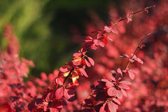 Autumn red bush Stock Images