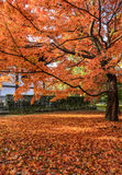 Autumn red color leaves in Japan Stock Photography