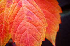 Autumn red colorful tree leaves Stock Photos