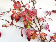 Autumn red creeper plant on a wall creates a beautiful background. Beautiful autumn red creeper plant on a wall creates a beautiful background Royalty Free Stock Images