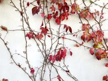 Autumn red creeper plant on a wall creates a beautiful background. Beautiful autumn red creeper plant on a wall creates a beautiful background Stock Image