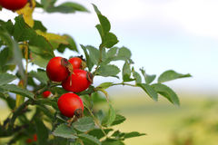 Autumn red dog rose tree growing Stock Photo