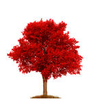 Autumn red elm tree, isolated over white Royalty Free Stock Photos