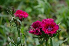 Autumn red flowers blooming in a park. royalty free stock photo
