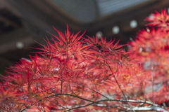 Autumn red foliage of Acer japonicum, also called fernleaf maple, the Amur maple, downy Japanese-maple or fullmoon maple.  Stock Photography