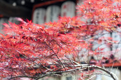 Autumn red foliage of Acer japonicum, also called fernleaf maple, the Amur maple, downy Japanese-maple or fullmoon maple.  Royalty Free Stock Photos