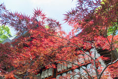 Autumn red foliage of Acer japonicum, also called fernleaf maple, the Amur maple, downy Japanese-maple or fullmoon maple.  Stock Photo