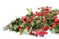 Autumn red fruits - hawthorn stock photo