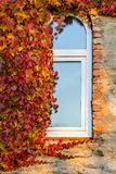 Autumn red grape Stock Photo