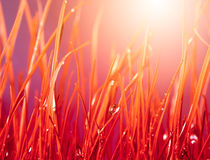 Autumn red grass with water drops. Royalty Free Stock Photos