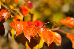 Autumn red and green leaves close up Royalty Free Stock Photography