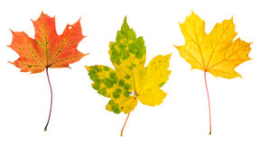 Autumn red green yellow maple leaves white background. Autumn red, green and yellow maple leaves isolated on white background Royalty Free Stock Images