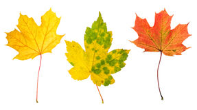 Autumn red green yellow maple leaves white background. Autumn red, green and yellow maple leaves isolated on white background Stock Image