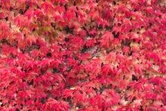Autumn Red Ivy Background Hojas de Ivy Covering The White Wall en el castillo de Milotice, República Checa Hélice de Ivy Hedera e imagenes de archivo