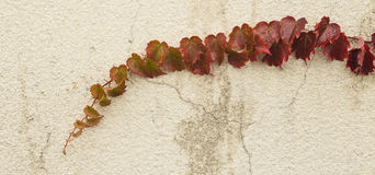 Autumn red ivy Royalty Free Stock Image