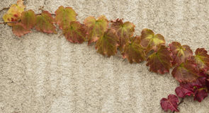 Autumn red ivy. Boston ivy adaptable, hardy, drought-tolerant, barren resistance, climate adaptability is extensive, the summer leaves thick, often climbing on royalty free stock images