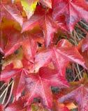 Autumn Red Ivy Leaves Imagenes de archivo