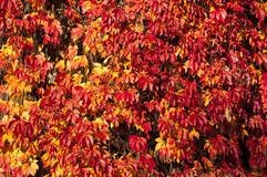 Red ivy leaves. Autumn red ivy leaves climbing on the wall royalty free stock photo