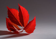 Autumn red leaf Stock Photo