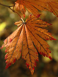 Autumn red leaf Royalty Free Stock Photos