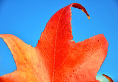 Autumn red leaf Royalty Free Stock Image