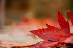 Autumn red leaf close-up in a park stock image