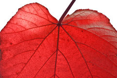 Autumn Red Leaf Detail Stock Photos