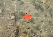 Autumn red leaf floating in the clear water of a mountain river or lake Royalty Free Stock Photography