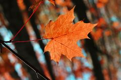 Autumn red leaf in the forest near the Moscow handing on a tree and waving by the wind. royalty free stock photo