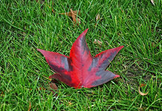 Autumn red leaf Stock Photos