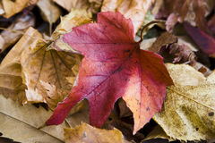 Autumn Red Leaf Ground Royalty Free Stock Image