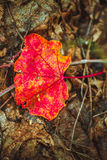 Autumn red leaf on moss and foliage.  Royalty Free Stock Photography