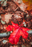 Autumn red leaf on moss and foliage.  Royalty Free Stock Photo