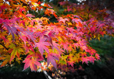 Autumn Red leaf Royalty Free Stock Images