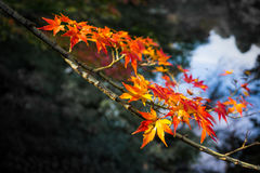 Autumn Red leaf Royalty Free Stock Photography