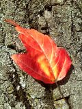 Autumn. Red leaf on the tree. Stock Images