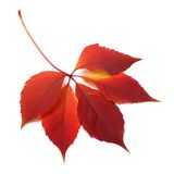 Autumn red leaf Stock Images