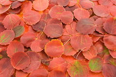 Autumn red leafs background. Autumn aspen red leafs background Royalty Free Stock Photography